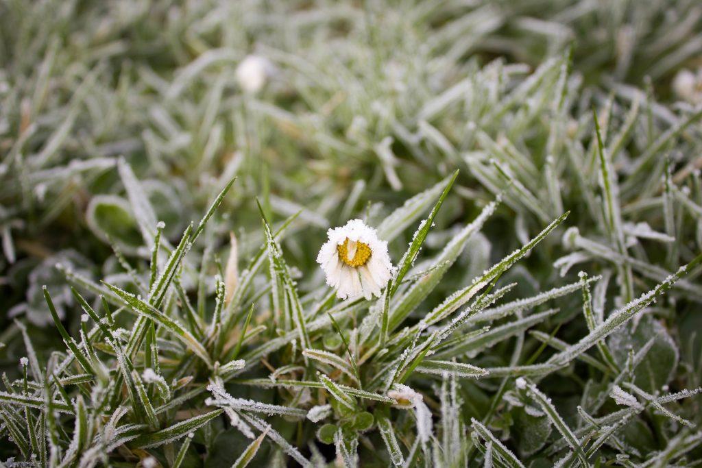 Frosty daisy