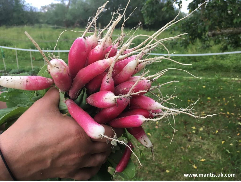 healthy eating with gardening fresh grown radishes