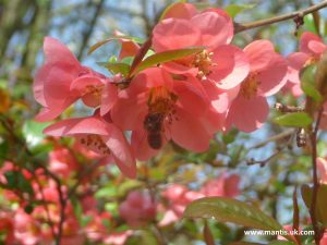 help the beez JAPANESE QUINCE – CHAENOMELES SPECIOSA