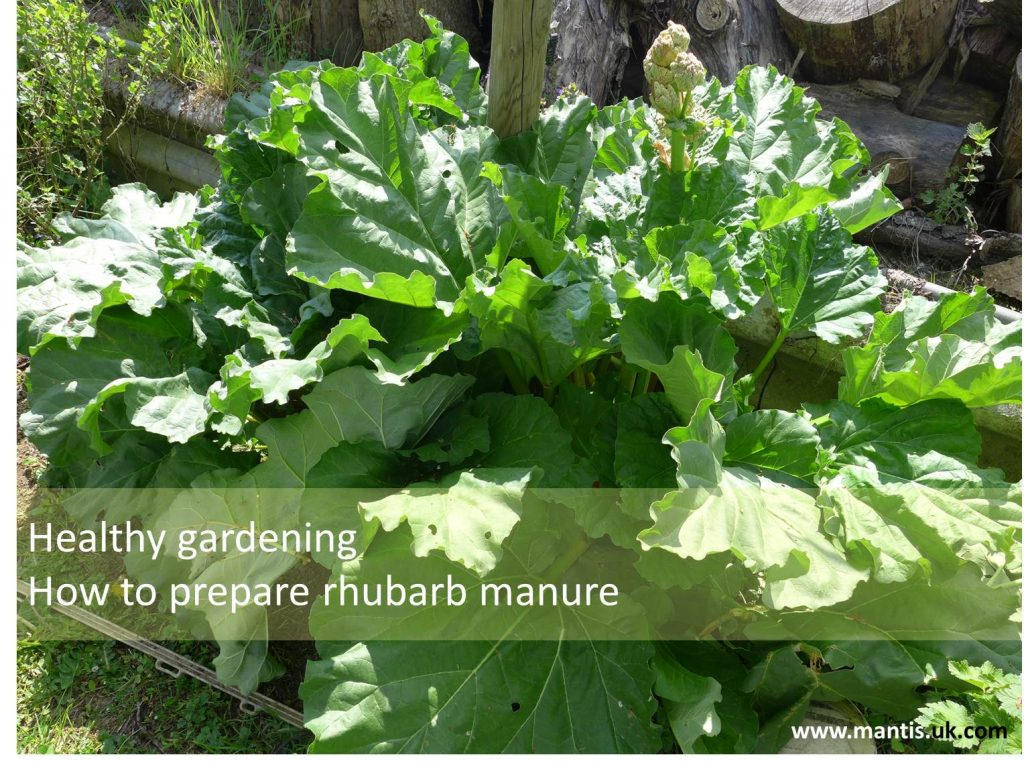 Healthy gardening – How to prepare rhubarb manure