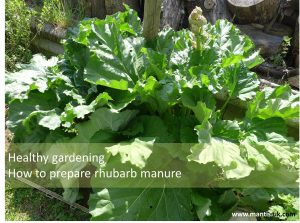 healthy gardening what to do with rhubarb leaves rhubarb manure
